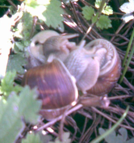 escargots en folie